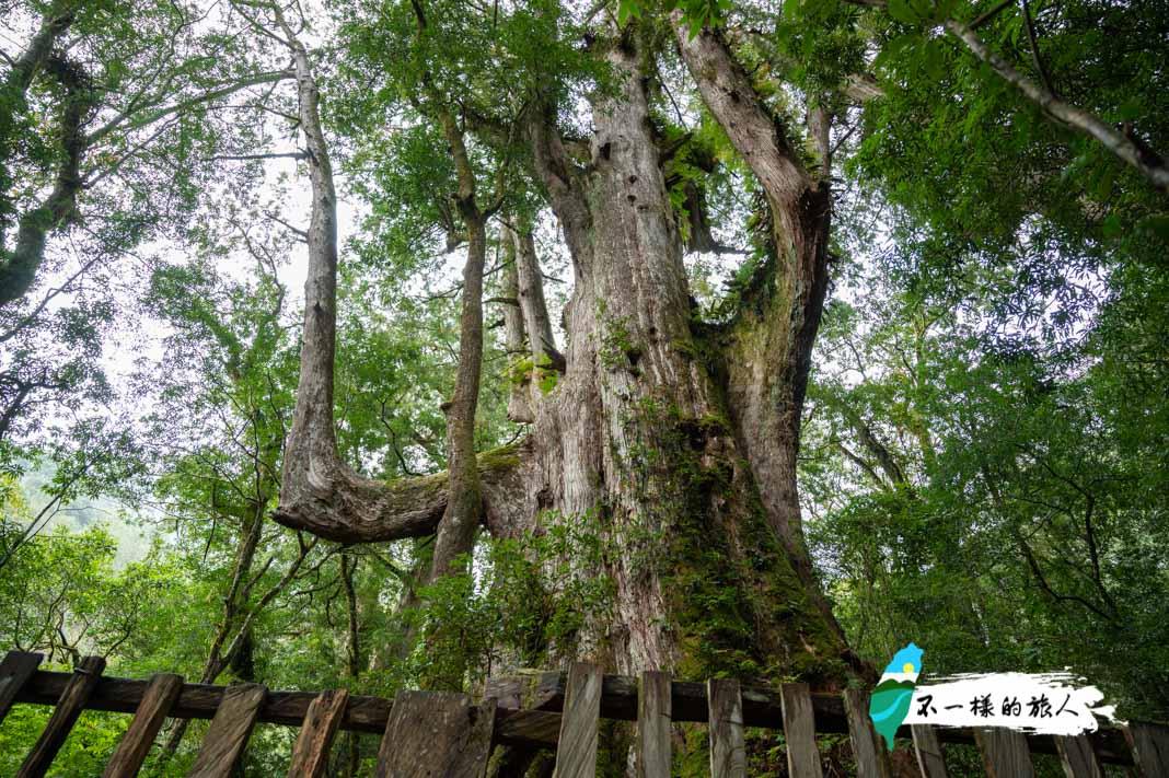 司馬庫斯景點-神木